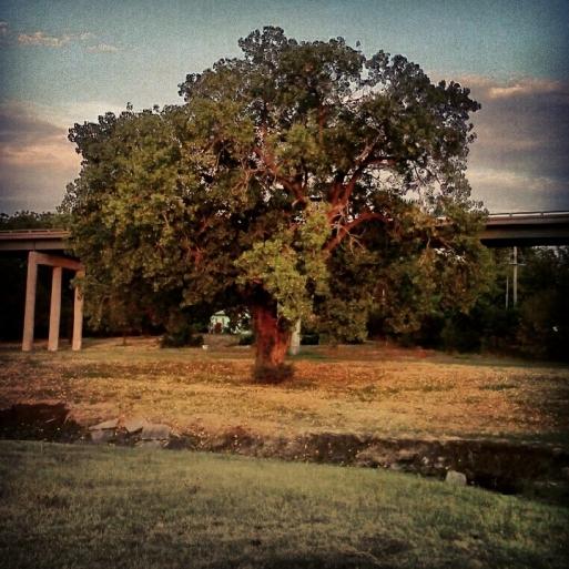 Cottonwood Tree, Ottawa, Kansas