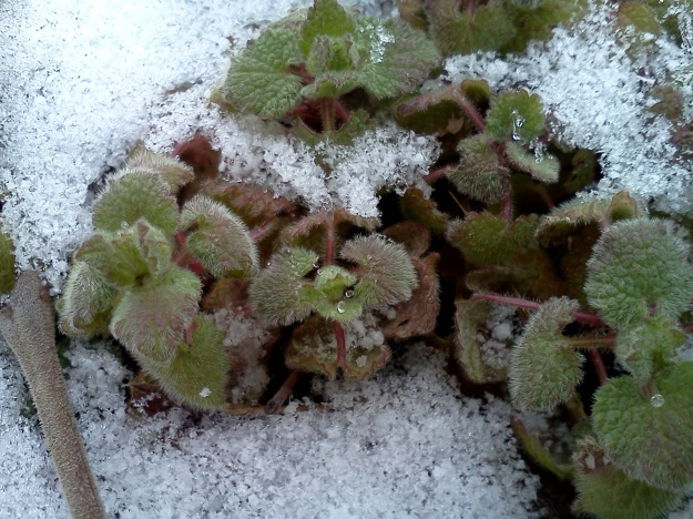 Poor little ground ivy plants, trying to make their way in the world...