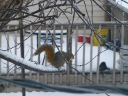 A brown squirrel looks out from a branch on a cold, windy day.