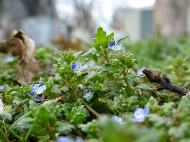 Tiny speedwell blossoms, each smaller than the head of a nail, carpet the damp soil in the backyard.