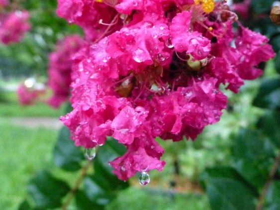 Crepe myrtle heavy with raindrops.