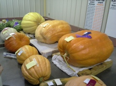 Mega pumpkins. The biggest pumpkin was just shy of 650 pounds.