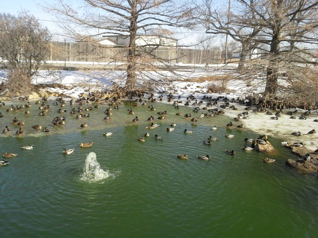 The pond at the Traylor Zoo in Emporia is thawing and happy ducks are waddling through the snow and ice to swim and bathe in the water.