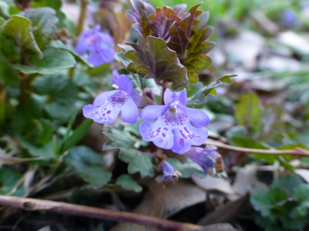 Creeping Charlie (or, more officially, Glechoma hederacea.)