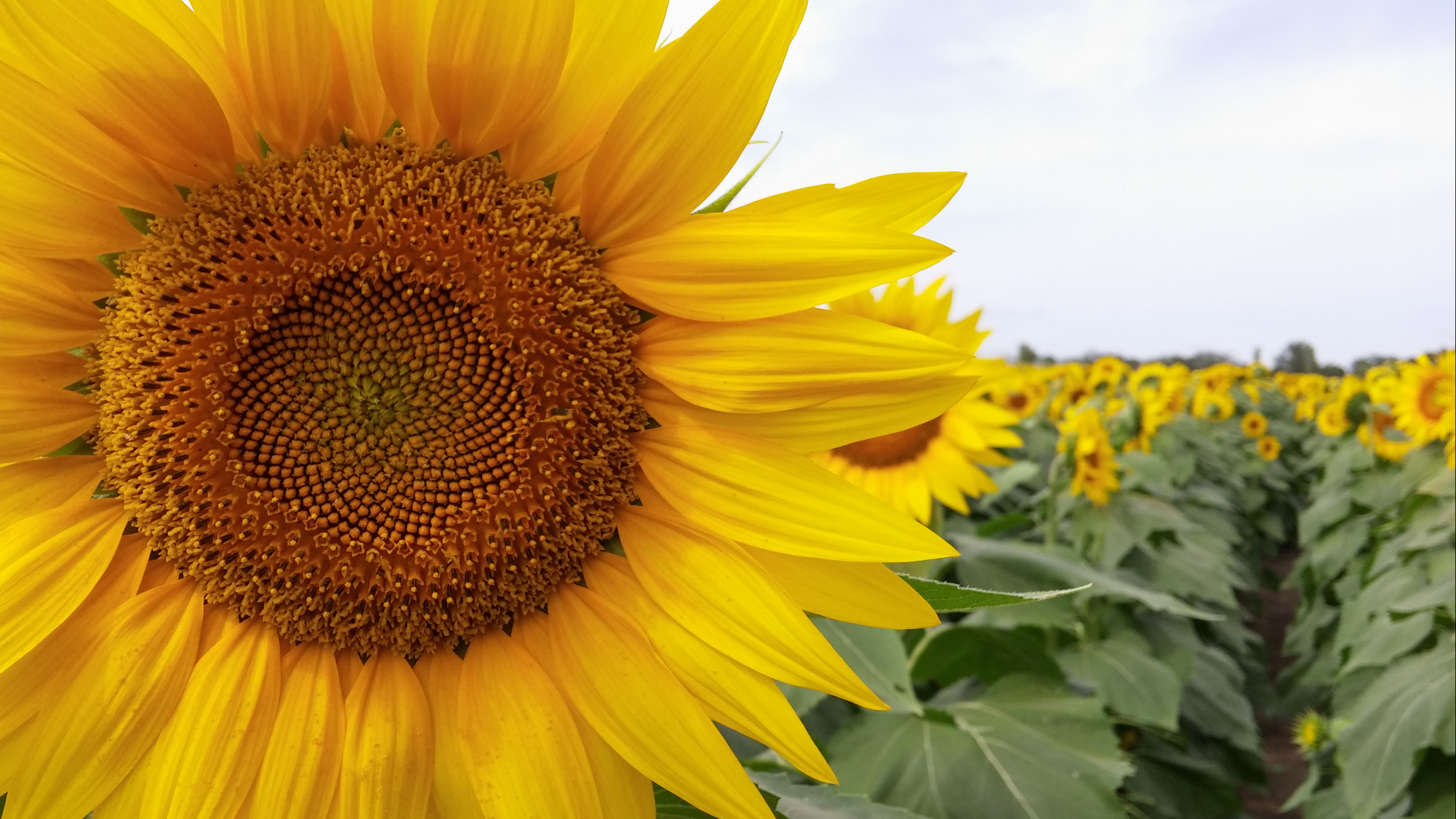 Sunflowers Tumblr Header